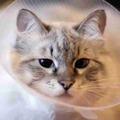 Cat Wearing Surgical Cone